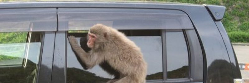 monkey trying to get into a car