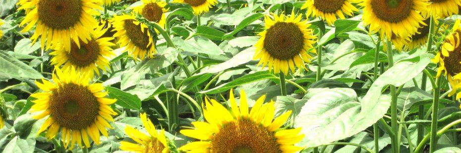 sunflowers in minami izu